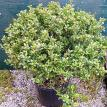 Compacta Japenese Holly